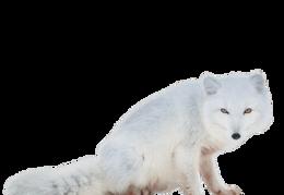 animals & arctic fox free transparent png image.
