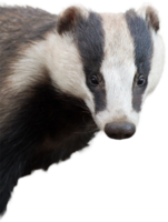 animals&Badger png image.