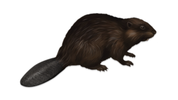 animals&Beaver png image.
