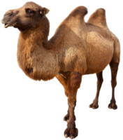 animals&Camel png image.