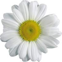 flowers&Chamomile png image.