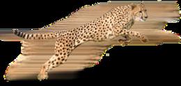 animals&Cheetah png image.