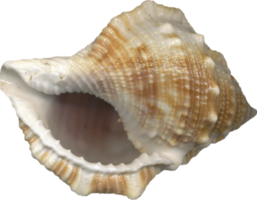 nature&Conch png image.