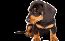 animals&Dachshund png image.