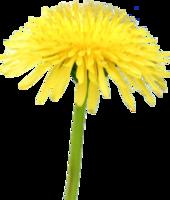 flowers&Dandelion png image.