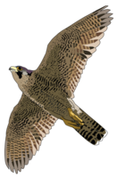 animals&Falcon png image.