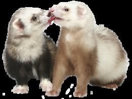 animals&Ferret png image.