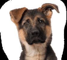 animals&German Shepherd png image.