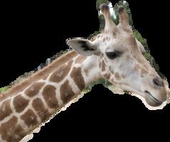 animals&Giraffe png image.