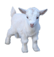 animals&Goat png image.