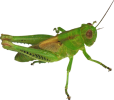 Grasshopper&insects png image