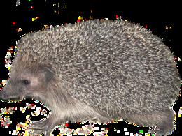 animals&Hedgehog png image.