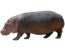 animals&Hippo png image.