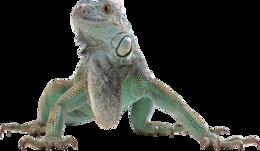 animals&Iguana png image.