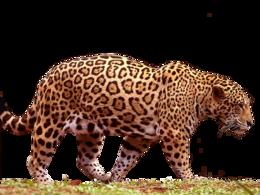 animals&Jaguar png image.