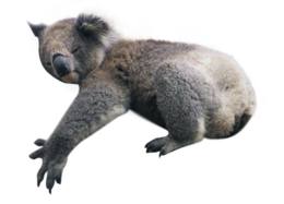animals & koala free transparent png image.