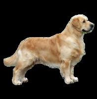 animals&Labrador Retriever png image.