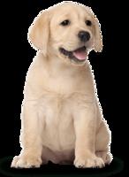 Labrador Retriever&animals png image