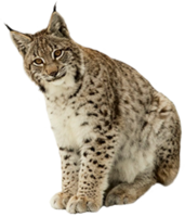animals&Lynx png image.