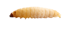 insects&Maggots png image.