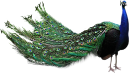 animals & peacock free transparent png image.