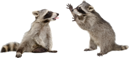 animals&Raccoon png image.