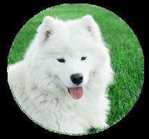 animals&Samoyed dog png image.