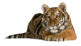 animals&Tiger png image.