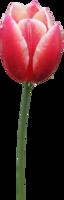 flowers & tulip free transparent png image.