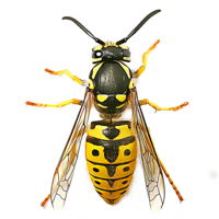 Wasp&insects png image