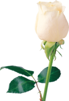 flowers&White roses png image.