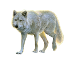 animals&Wolf png image.